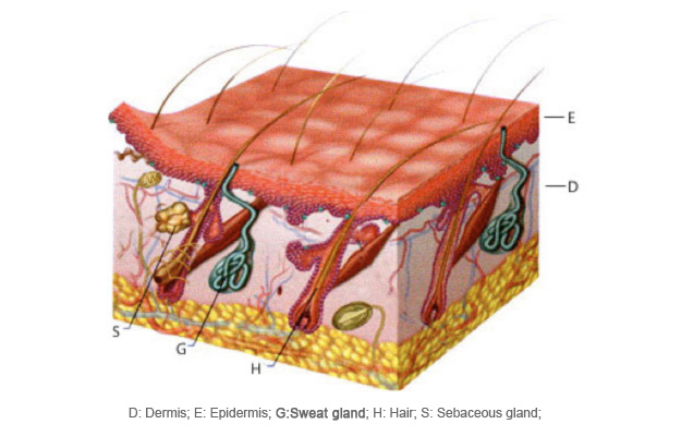 Sweat Gland Diagram
